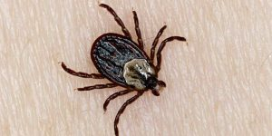 Wood Tick, Dermacentor variabilis, (aka Dog Tick, American Dog Tick, Hard Tick). Adult Female tick on human skin. Northern Ontario, Canada.
